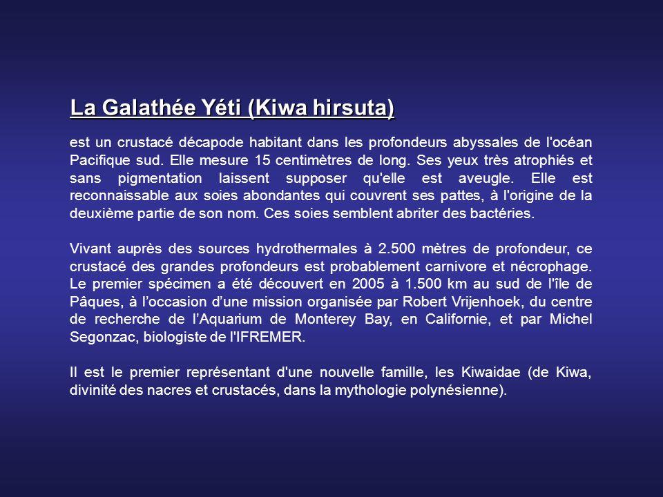 La Galathée Yéti (Kiwa hirsuta) est un crustacé décapode habitant dans les profondeurs abyssales de l océan Pacifique sud.
