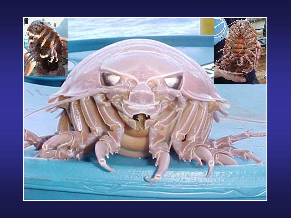 La Galathée Yéti (Kiwa hirsuta) est un crustacé décapode habitant dans les profondeurs abyssales de l'océan Pacifique sud. Elle mesure 15 centimètres