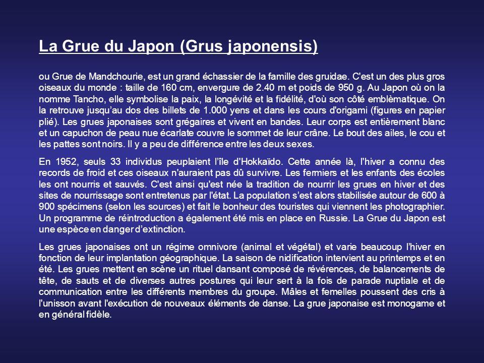 La Grue du Japon (Grus japonensis) ou Grue de Mandchourie, est un grand échassier de la famille des gruidae.