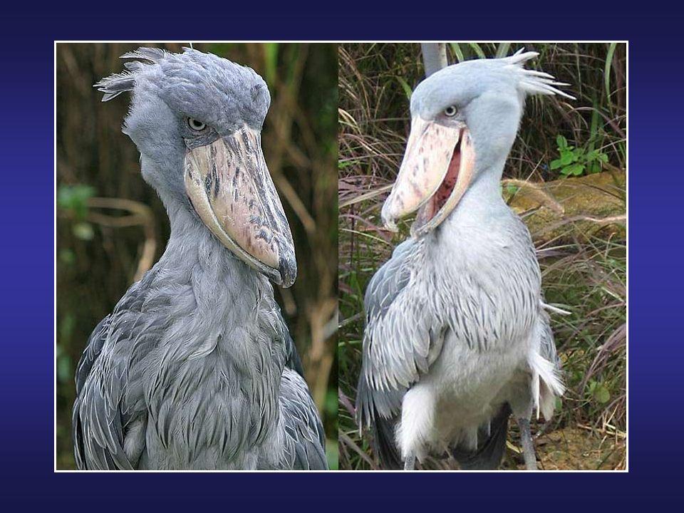 La Grue du Japon (Grus japonensis) ou Grue de Mandchourie, est un grand échassier de la famille des gruidae. C'est un des plus gros oiseaux du monde :