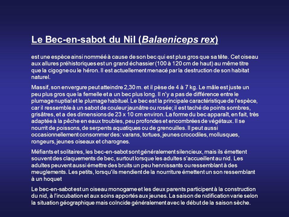 Le Bec-en-sabot du Nil (Balaeniceps rex) est une espèce ainsi nomméé à cause de son bec qui est plus gros que sa tête.