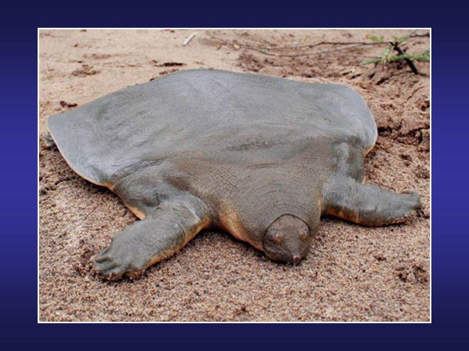 La salamandre géante de Chine est la salamandre la plus grande du monde; elle peut atteindre 180 cm et peser entre 25 à 30 kg. La femelle pond en moye