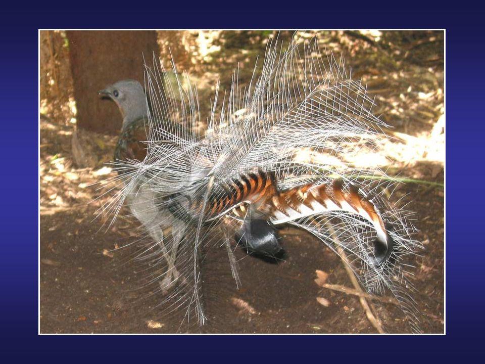 Le Bec-en-sabot du Nil (Balaeniceps rex) est une espèce ainsi nomméé à cause de son bec qui est plus gros que sa tête. Cet oiseau aux allures préhisto