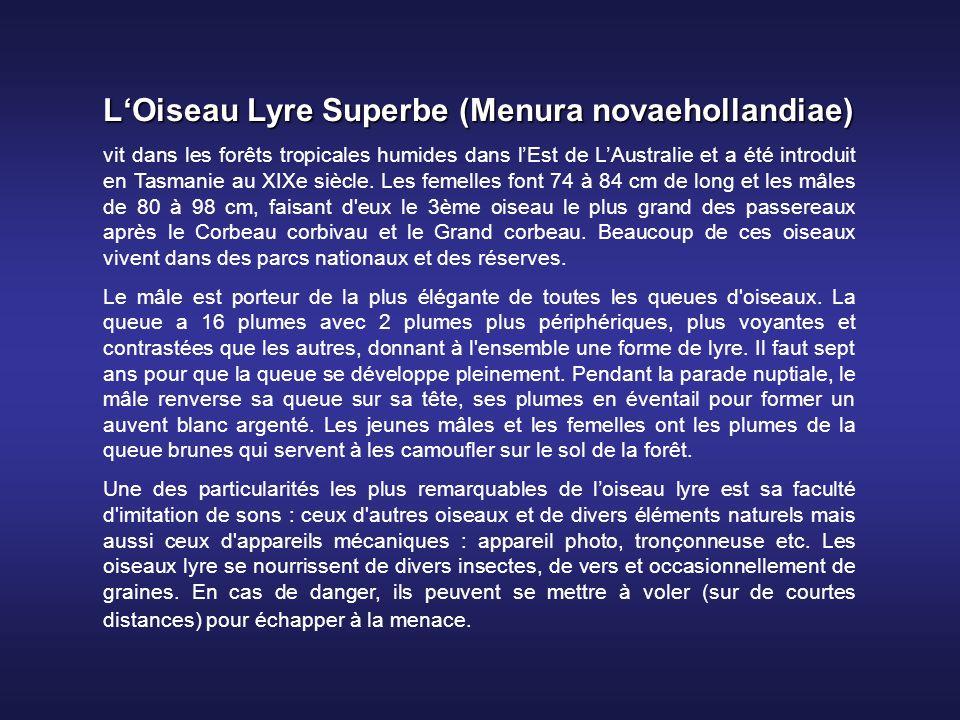 LOiseau Lyre Superbe (Menura novaehollandiae) vit dans les forêts tropicales humides dans lEst de LAustralie et a été introduit en Tasmanie au XIXe siècle.