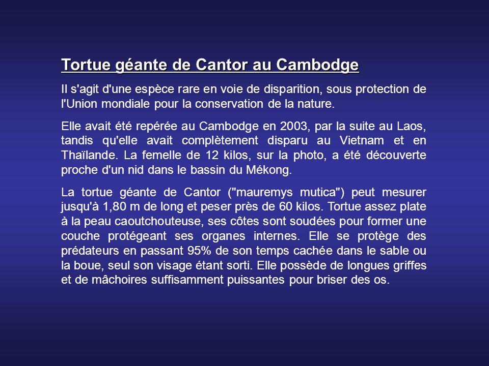 Tortue géante de Cantor au Cambodge Il s agit d une espèce rare en voie de disparition, sous protection de l Union mondiale pour la conservation de la nature.