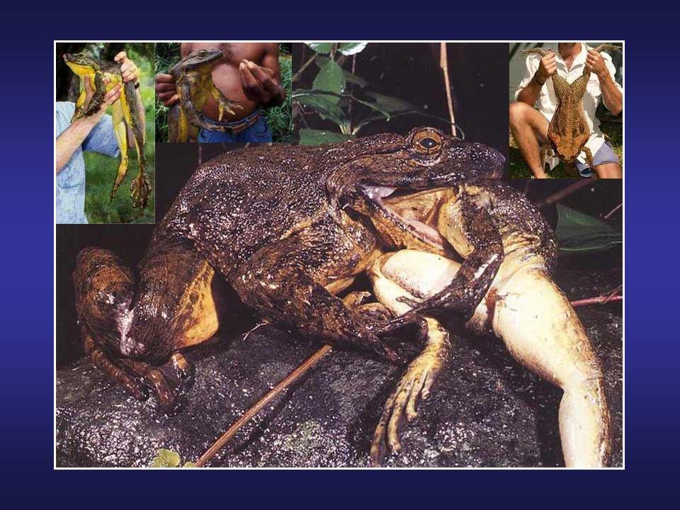 Tortue géante de Cantor au Cambodge Il s'agit d'une espèce rare en voie de disparition, sous protection de l'Union mondiale pour la conservation de la
