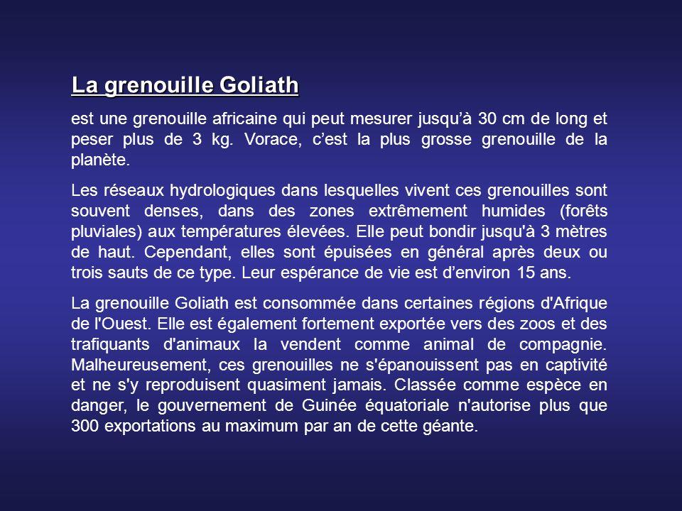 La grenouille Goliath est une grenouille africaine qui peut mesurer jusquà 30 cm de long et peser plus de 3 kg.
