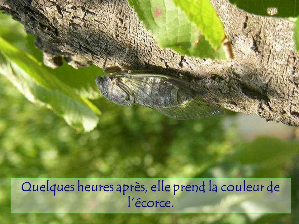Le cigalon est un mâle. Son chant est produit par la contraction, 300à500/s.