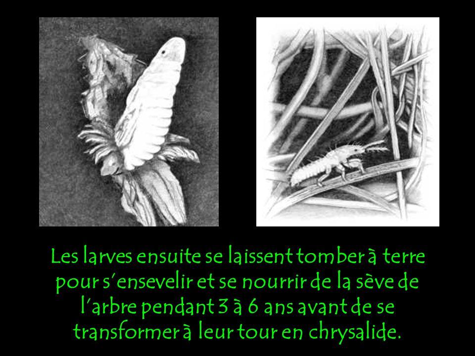 Après les amours, la cigale, à laide de sa tarière, creuse des dizaines de loges dans lécorce et y dépose ses œufs.