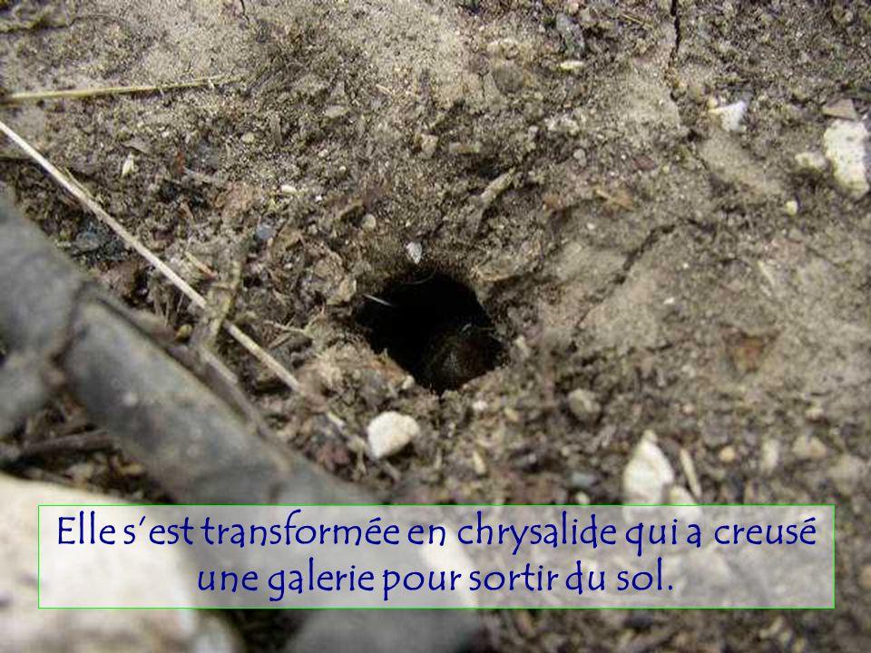 La larve a passé 3 à 6 ans sous terre et sest nourrie de sève à la racine de larbre.