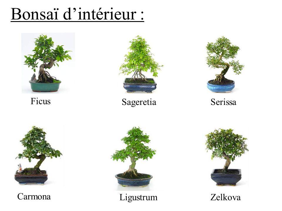 Bonsaï dintérieur : Ficus SageretiaSerissa Carmona LigustrumZelkova