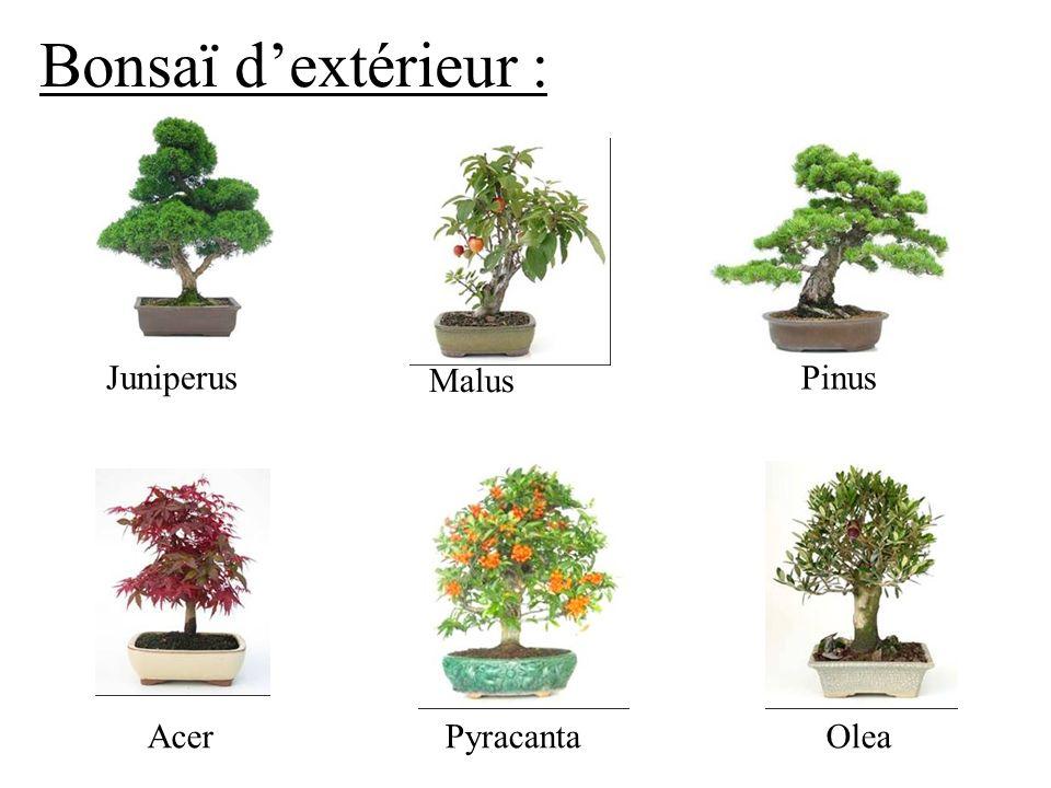 Bonsaï dextérieur : Acer Juniperus Malus Pinus PyracantaOlea