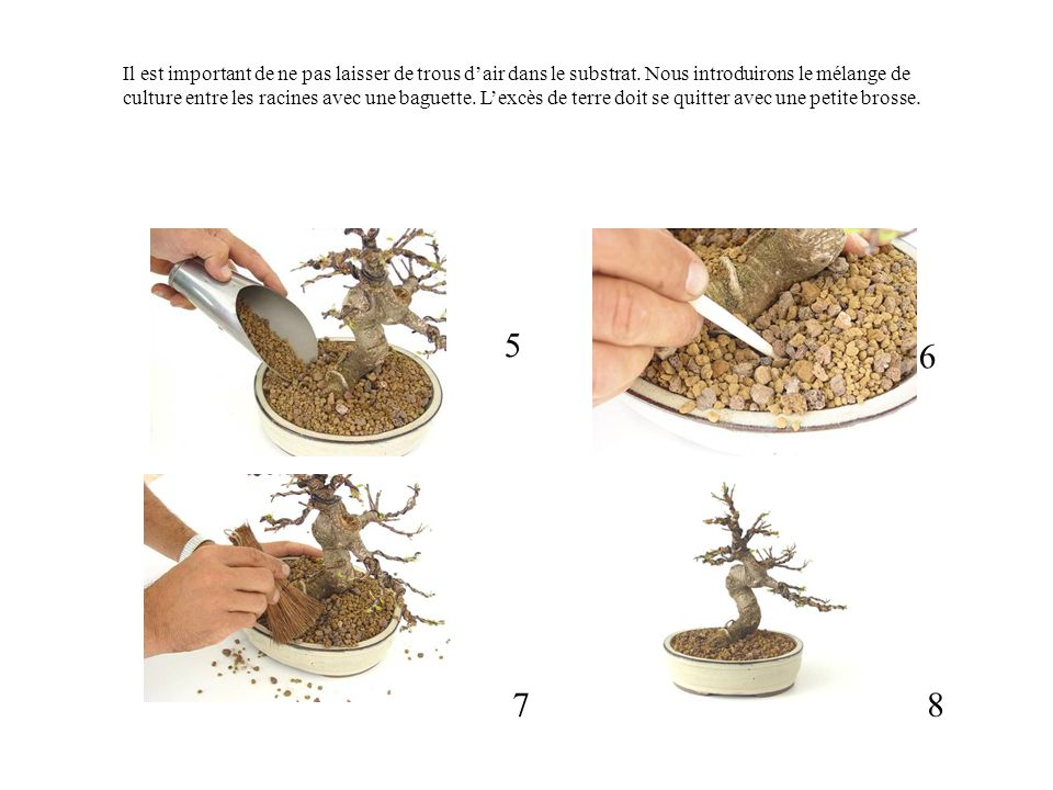 5 6 87 Il est important de ne pas laisser de trous dair dans le substrat. Nous introduirons le mélange de culture entre les racines avec une baguette.