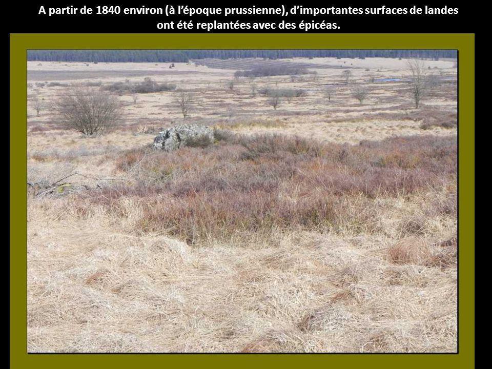 Jusquau Moyen - Age par contre, les Hautes Fagnes étaient encore couvertes à 90% de forêts feuillues