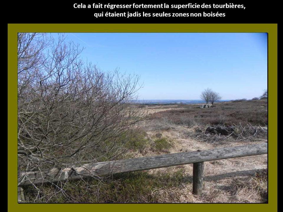 A partir de 1840 environ (à lépoque prussienne), dimportantes surfaces de landes ont été replantées avec des épicéas.