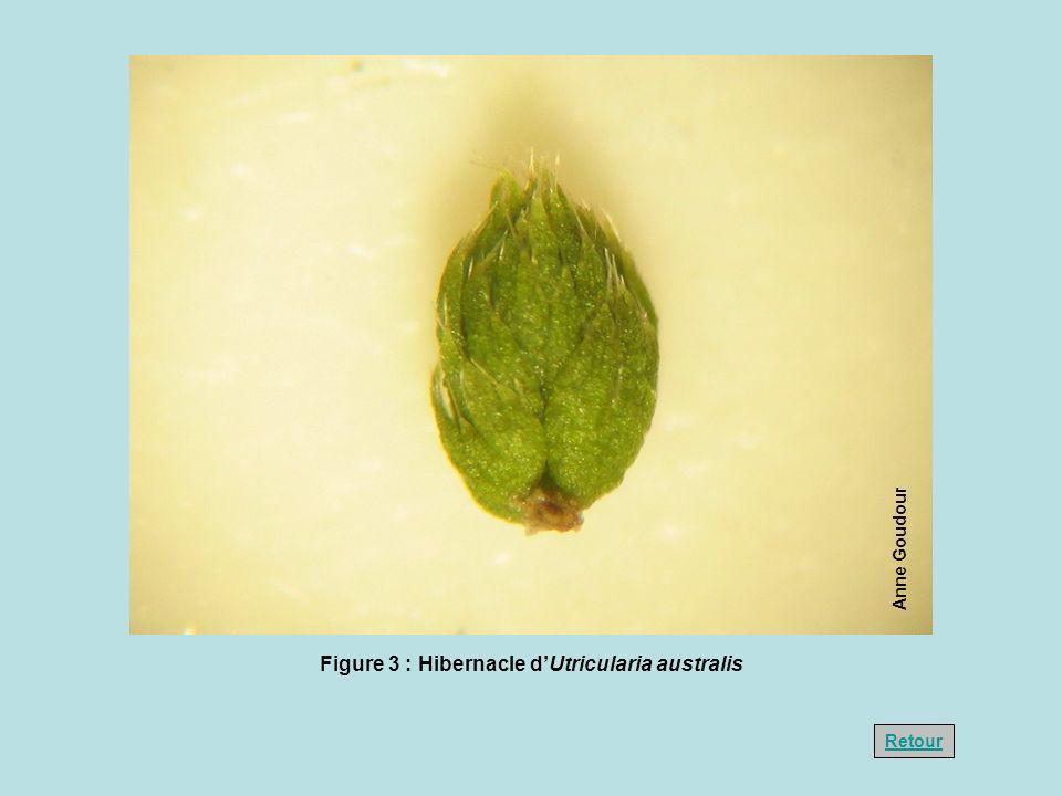 Anne Goudour Figure 3 : Hibernacle dUtricularia australis Retour