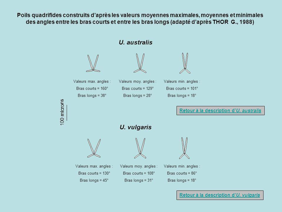 U. australis U. vulgaris Valeurs moy. angles : Bras courts = 129° Bras longs = 28° Valeurs min. angles : Bras courts = 101° Bras longs = 18° Valeurs m
