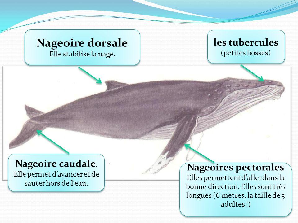 Nageoire dorsale Elle stabilise la nage. Nageoire dorsale Elle stabilise la nage. Nageoire caudale. Elle permet davancer et de sauter hors de leau. Na