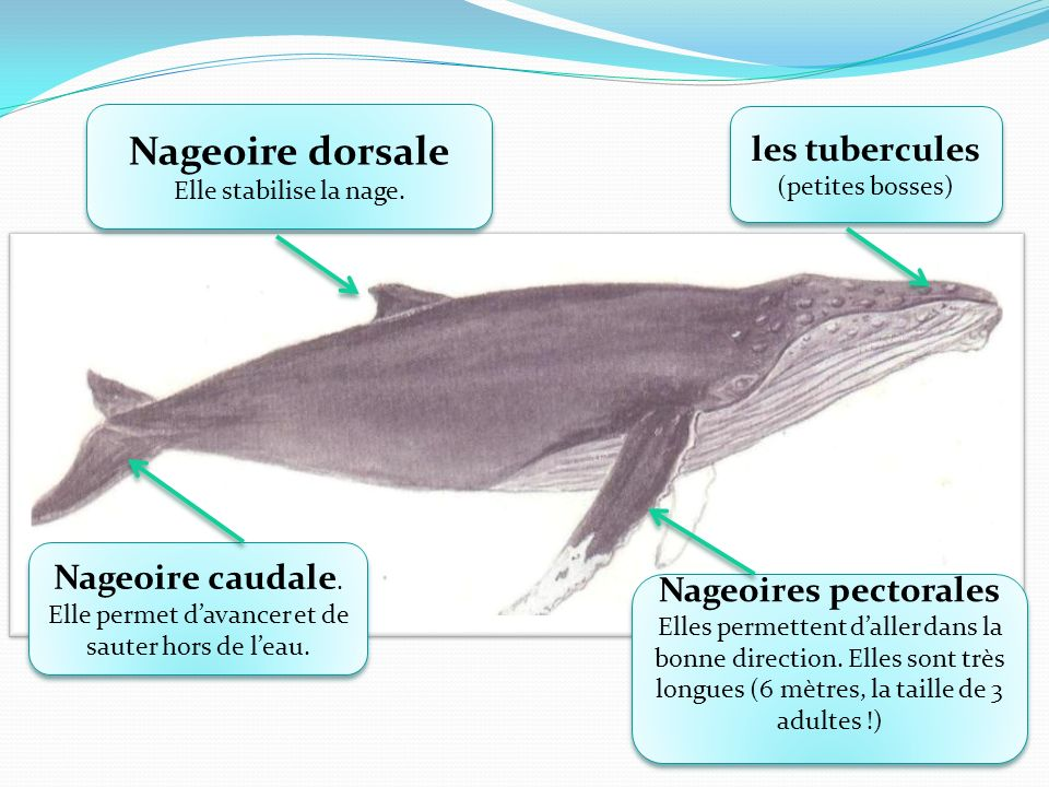Nageoire dorsale Elle stabilise la nage.Nageoire dorsale Elle stabilise la nage.