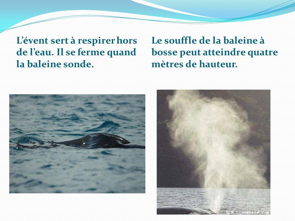 Lévent sert à respirer hors de leau. Il se ferme quand la baleine sonde. Le souffle de la baleine à bosse peut atteindre quatre mètres de hauteur.