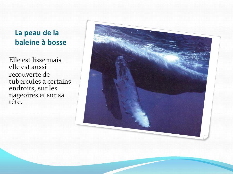 La peau de la baleine à bosse Elle est lisse mais elle est aussi recouverte de tubercules à certains endroits, sur les nageoires et sur sa tête.