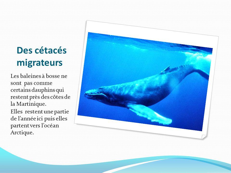 Des cétacés migrateurs Les baleines à bosse ne sont pas comme certains dauphins qui restent près des côtes de la Martinique. Elles restent une partie