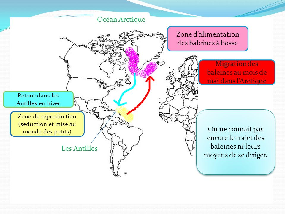 Zone de reproduction (séduction et mise au monde des petits) Zone dalimentation des baleines à bosse Migration des baleines au mois de mai dans lArcti