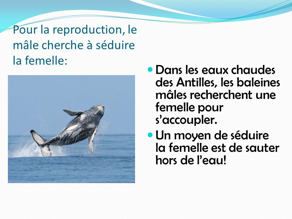 Pour la reproduction, le mâle cherche à séduire la femelle: Dans les eaux chaudes des Antilles, les baleines mâles recherchent une femelle pour saccou