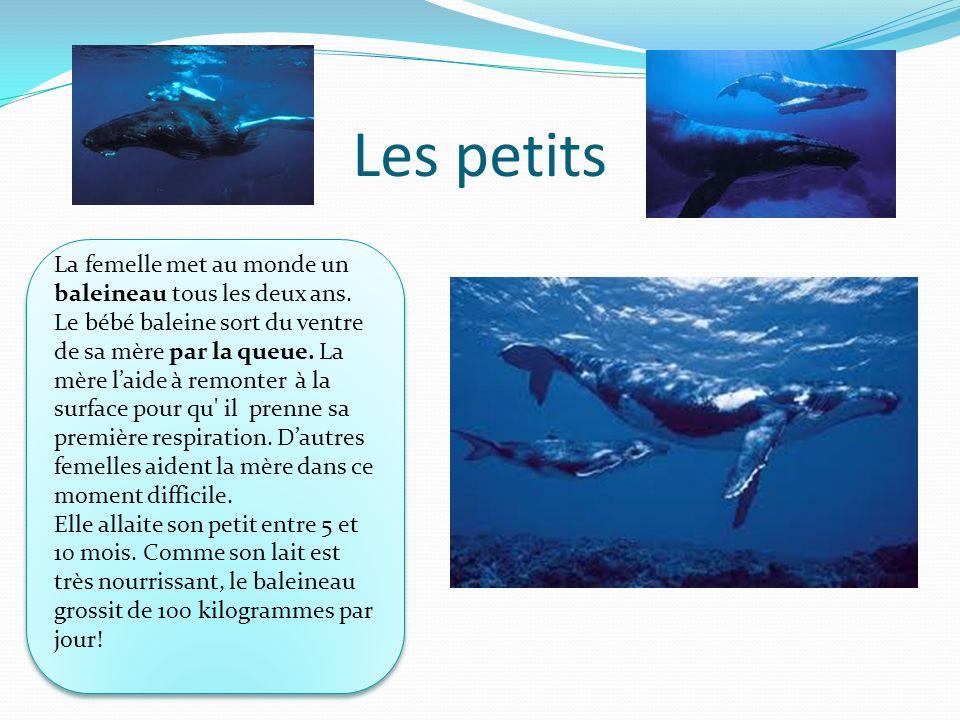 Les petits La femelle met au monde un baleineau tous les deux ans. Le bébé baleine sort du ventre de sa mère par la queue. La mère laide à remonter à