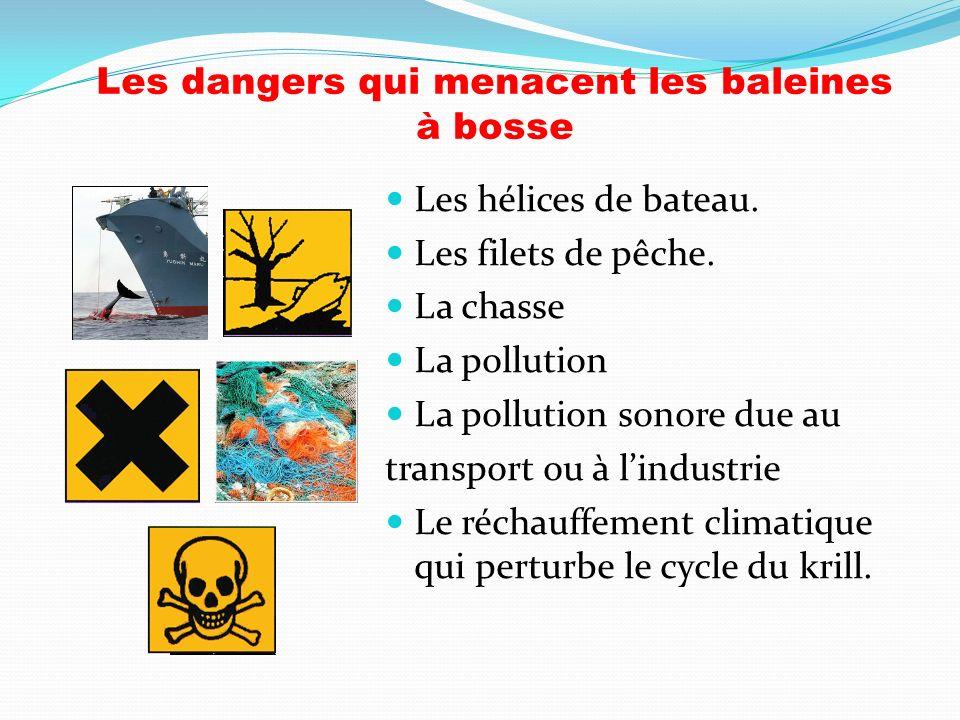 Les dangers qui menacent les baleines à bosse Les hélices de bateau. Les filets de pêche. La chasse La pollution La pollution sonore due au transport