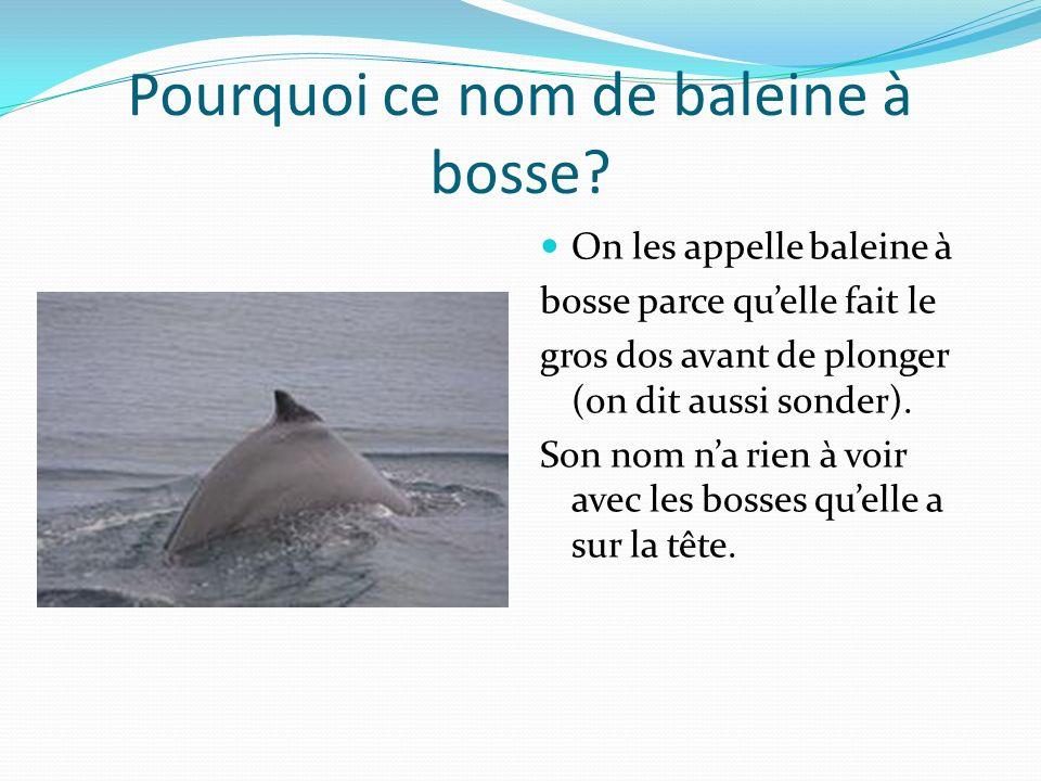 Pourquoi ce nom de baleine à bosse? On les appelle baleine à bosse parce quelle fait le gros dos avant de plonger (on dit aussi sonder). Son nom na ri