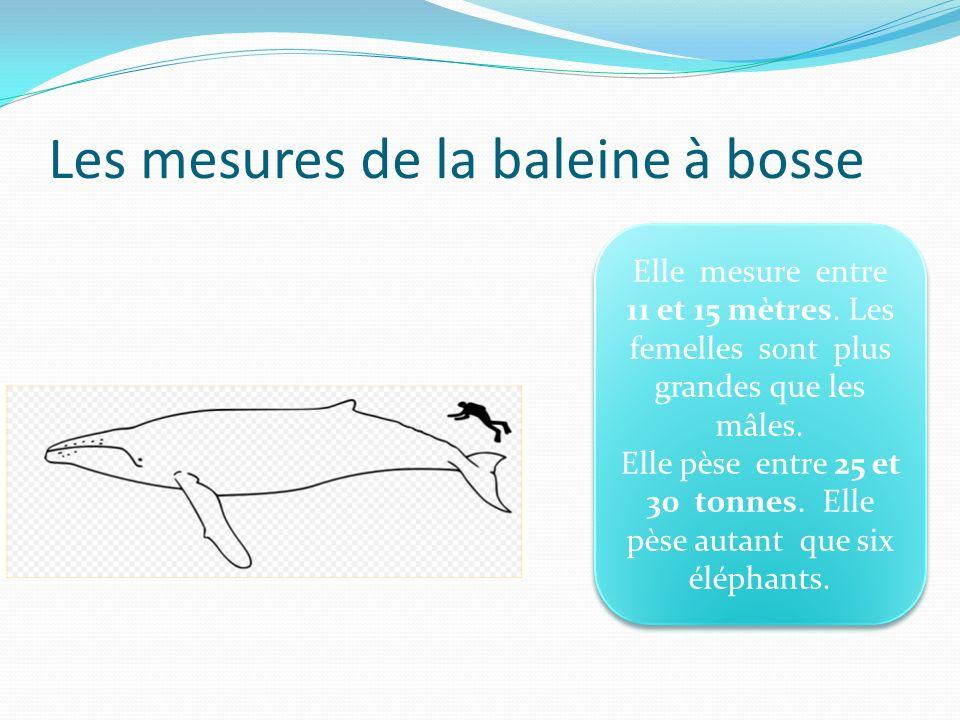 Les mesures de la baleine à bosse Elle mesure entre 11 et 15 mètres. Les femelles sont plus grandes que les mâles. Elle pèse entre 25 et 30 tonnes. El