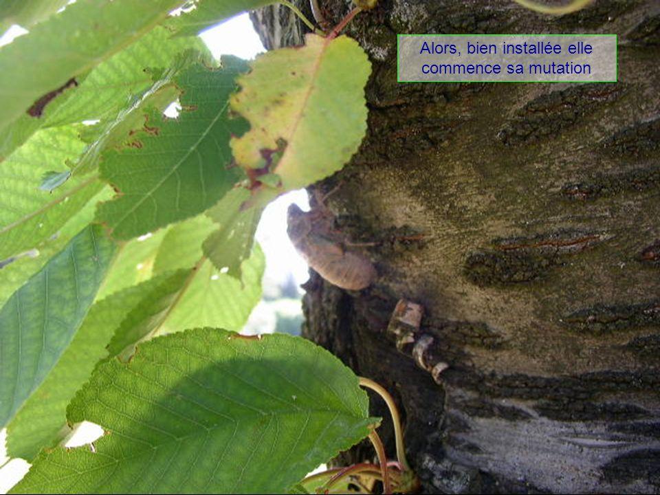 La chrysalide se fixe sur lécorce de larbre