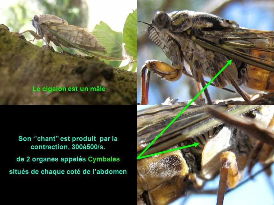 Est-ce une cigale ou un cigalon ? Seul le cigalon chante pour appeler la femelle Il ne lui reste que 2 à 3 semaines à vivre pour se reproduire