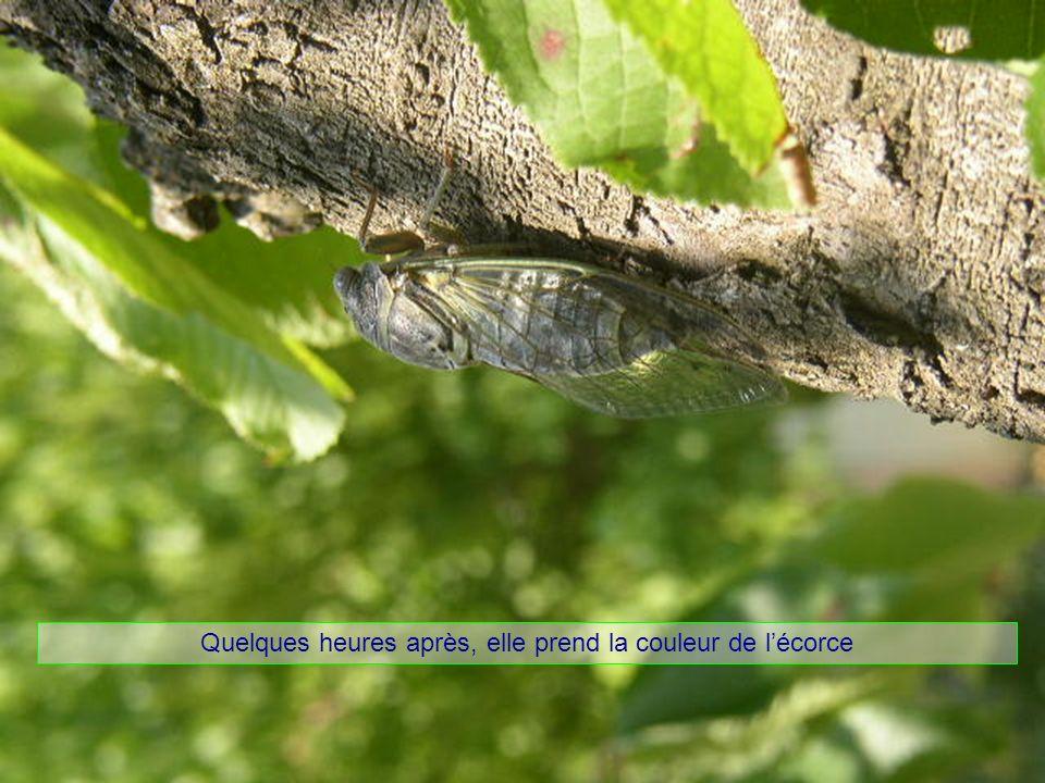 Le cigalon est un mâle Son chant est produit par la contraction, 300à500/s.
