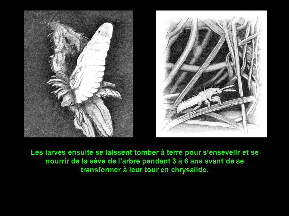 Après les amours, la cigale, à laide de sa tarière, creuse des dizaines de loges dans lécorce et y dépose ses œuf