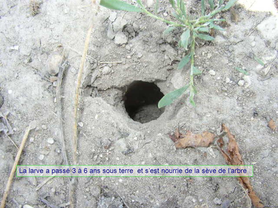 La larve a passé 3 à 6 ans sous terre et sest nourrie de la sève de larbre