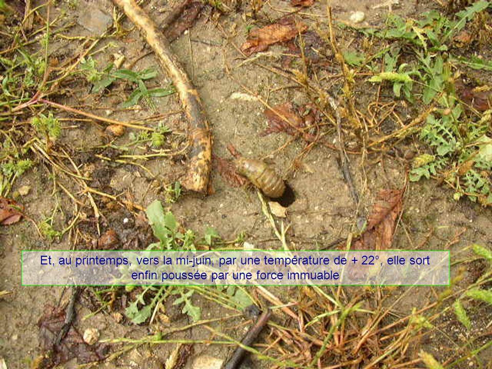 Elle sest transformée en chrysalide qui a creusé une galerie pour sortir de terre