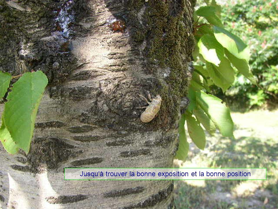 Le mimétisme devient opérationnel Elle a la couleur du dessous des feuilles