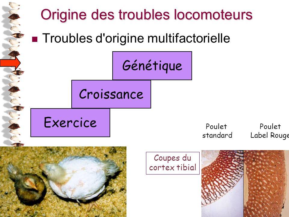 26 Génétique Croissance Exercice Poulet standard Poulet Label Rouge Coupes du cortex tibial Origine des troubles locomoteurs Troubles d'origine multif
