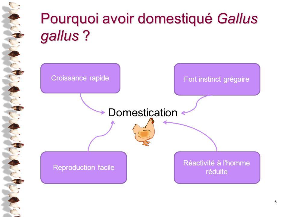 6 Pourquoi avoir domestiqué Gallus gallus ? Croissance rapide Fort instinct grégaire Reproduction facile Réactivité à l'homme réduite Domestication