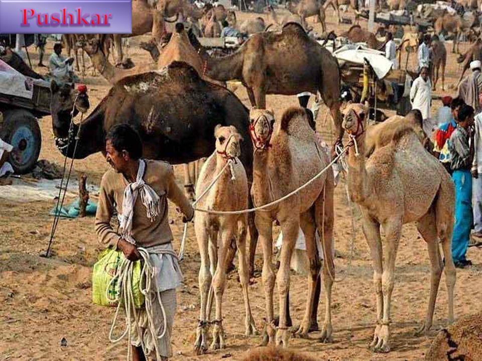 Pushkar est une ville de l'État indien du Rajasthan située à 11 km de la ville d'Ajmer. Pushkar est construite autour d'un lac et c'est l'un des rares