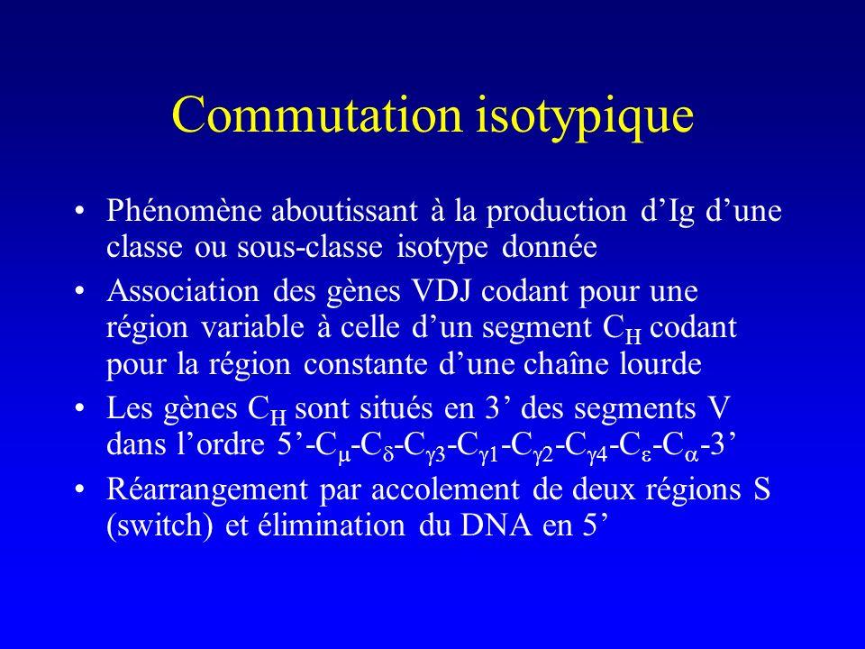 Commutation isotypique Phénomène aboutissant à la production dIg dune classe ou sous-classe isotype donnée Association des gènes VDJ codant pour une r