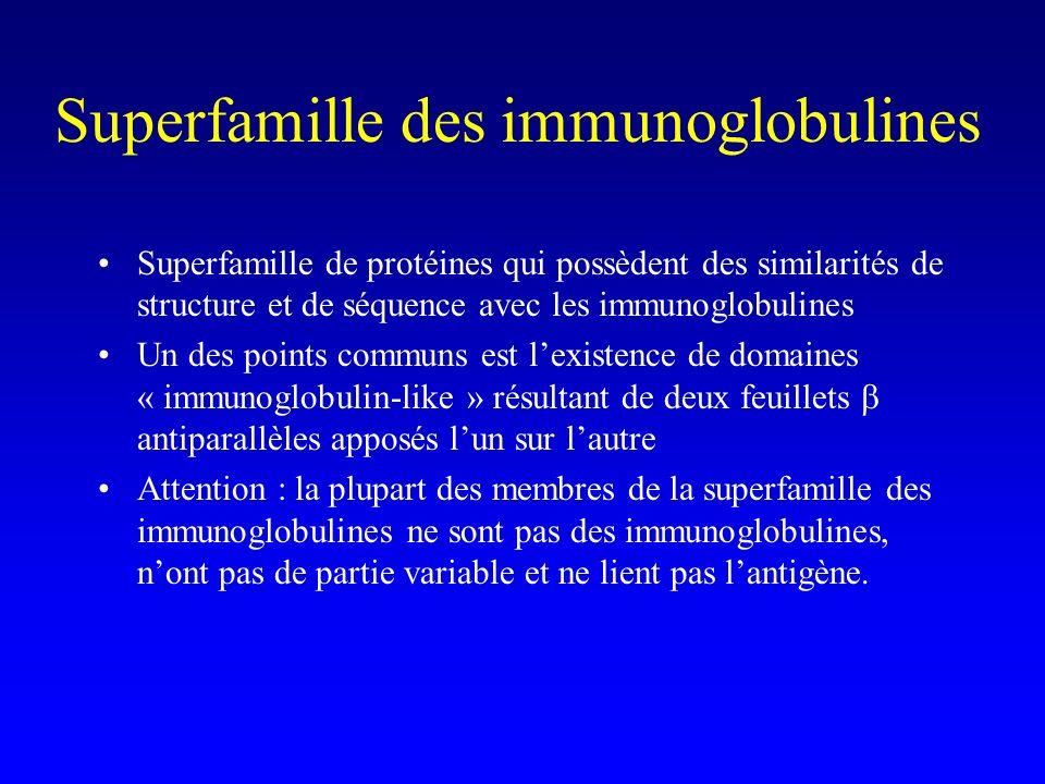 Superfamille des immunoglobulines Superfamille de protéines qui possèdent des similarités de structure et de séquence avec les immunoglobulines Un des