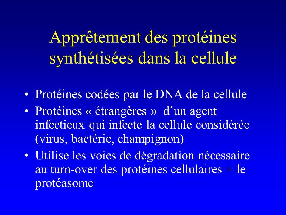 Apprêtement des protéines synthétisées dans la cellule Protéines codées par le DNA de la cellule Protéines « étrangères » dun agent infectieux qui inf