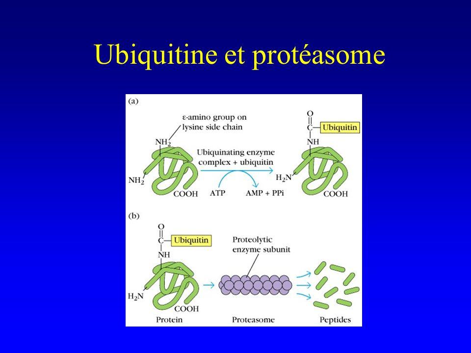 Ubiquitine et protéasome
