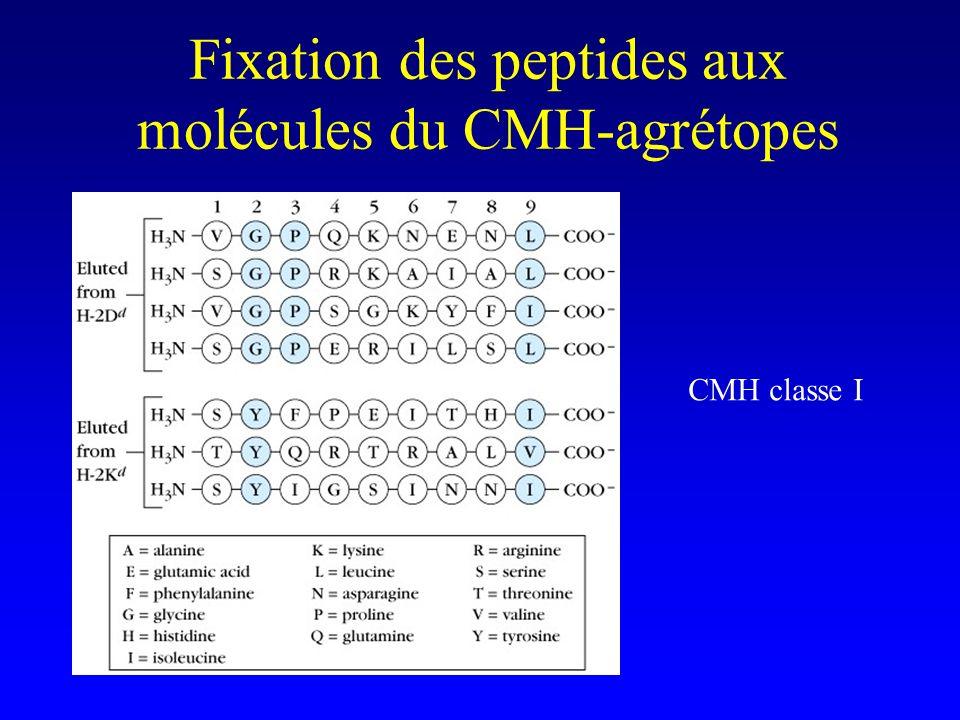 Fixation des peptides aux molécules du CMH-agrétopes CMH classe I