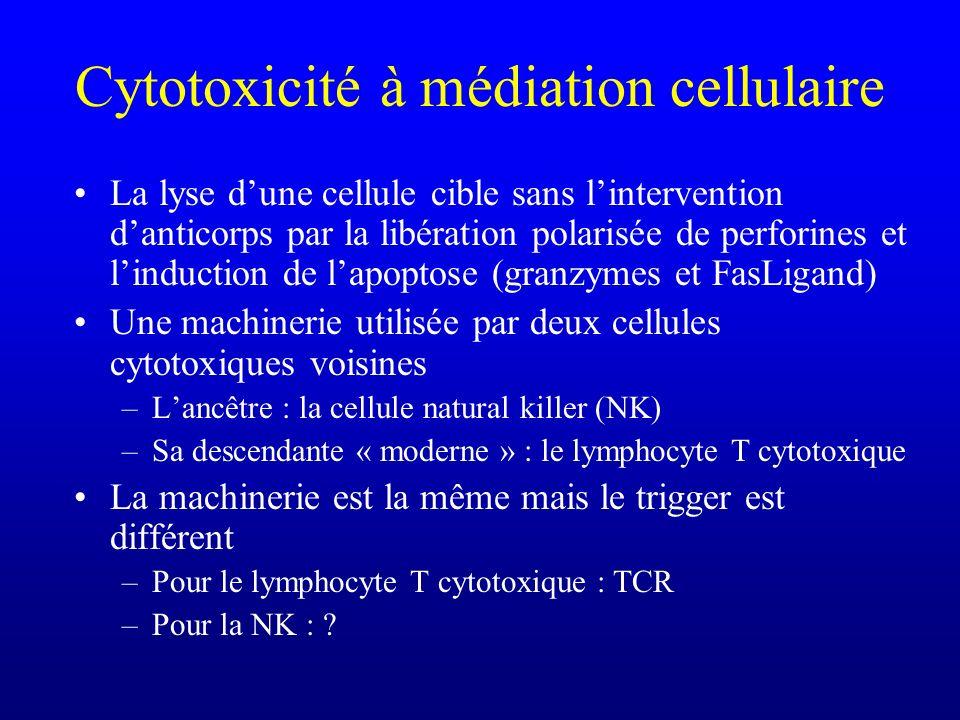 Cytotoxicité à médiation cellulaire La lyse dune cellule cible sans lintervention danticorps par la libération polarisée de perforines et linduction d