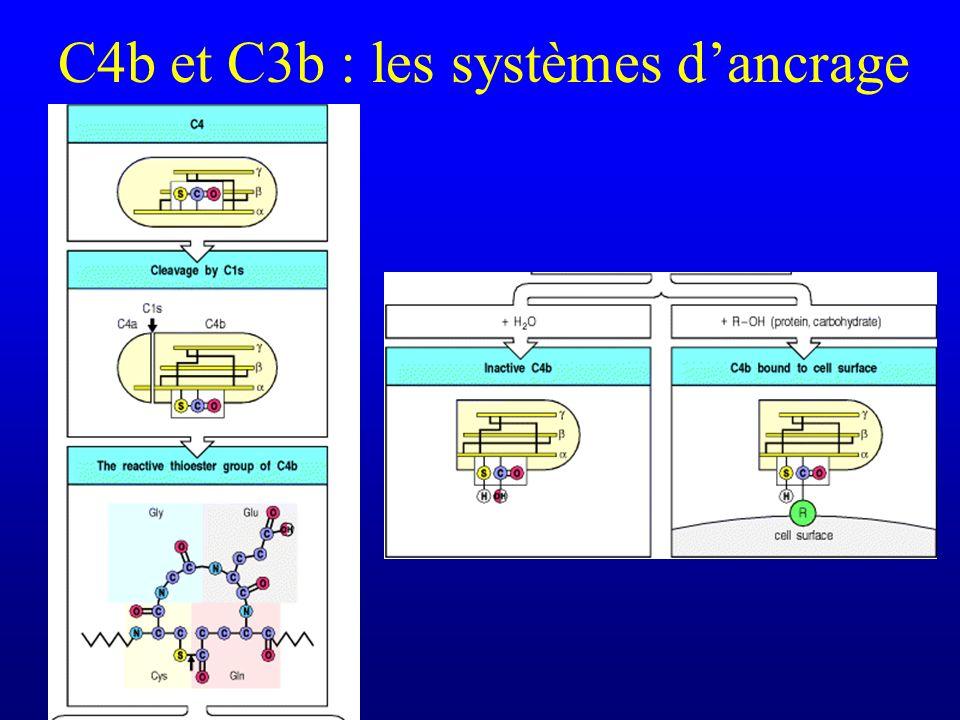 C4b et C3b : les systèmes dancrage