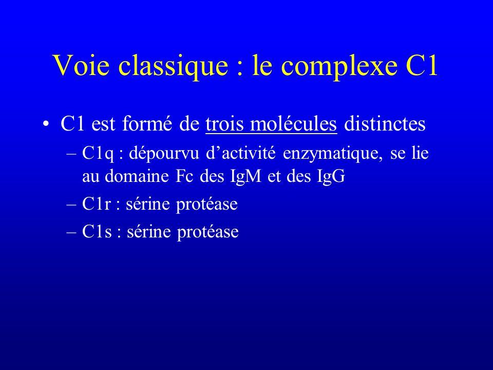 Voie classique : le complexe C1 C1 est formé de trois molécules distinctes –C1q : dépourvu dactivité enzymatique, se lie au domaine Fc des IgM et des